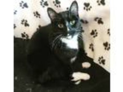 Adopt Sushi a Tuxedo, Domestic Short Hair
