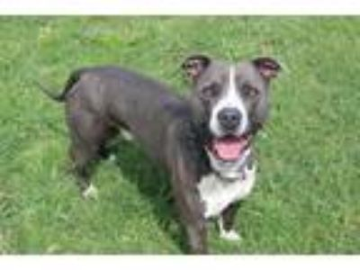 Adopt *LIONEL a Gray/Silver/Salt & Pepper - with White American Pit Bull Terrier