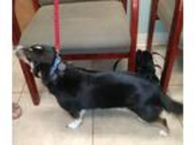 Adopt Finnegan a Black - with Tan, Yellow or Fawn Corgi / Beagle / Mixed dog in