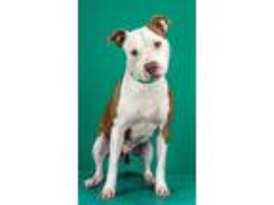 Adopt Coconut a Pit Bull Terrier / Boxer / Mixed dog in LAFAYETTE, LA (25529526)