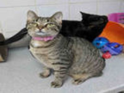 Adopt BONNIE a Brown Tabby Domestic Shorthair / Mixed (short coat) cat in