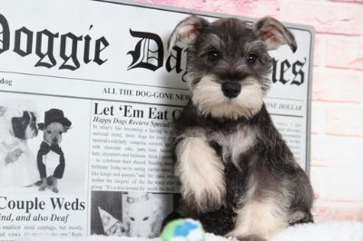 Schnauzer (Miniature) PUPPY FOR SALE ADN-95905 - Pixie Precious Female Miniature Schnauzer Puppy