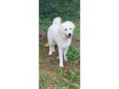 Adopt Snow a White Great Pyrenees / Mixed dog in South Park, PA (25532690)