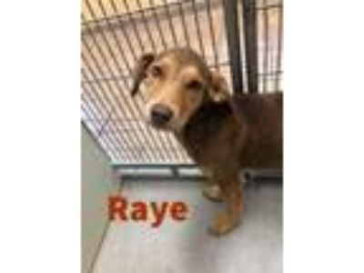 Adopt Raye 115348 a Brown/Chocolate Hound (Unknown Type) / Shepherd (Unknown
