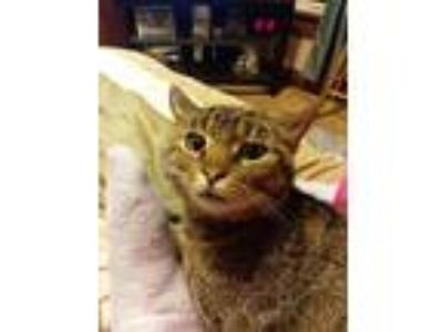 Adopt Tom a Tiger Striped Domestic Mediumhair (medium coat) cat in Westfield
