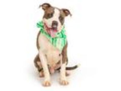 Adopt CREDOS a Brindle - with White American Pit Bull Terrier / Mixed dog in