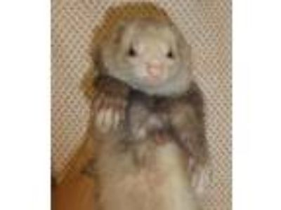 Adopt Willow* a Ferret