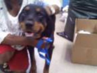 Adopt Max Jr a Black Rottweiler / Mixed dog in Fort Worth, TX (25280977)