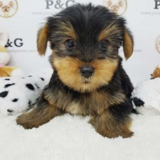 Yorkshire Terrier PUPPY FOR SALE ADN-91995 - YORKSHIRE TERRIER ANTHONY MALE