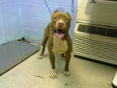 Adopt BARRY a Brown/Chocolate - with White American Pit Bull Terrier / Mixed dog