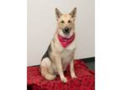 Adopt Duke a German Shepherd Dog
