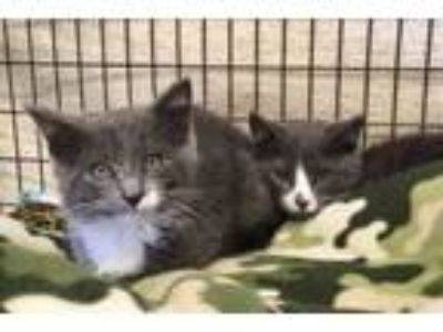 Adopt Laura and Wilder a Domestic Short Hair