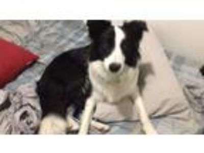 Adopt Tabatha a Border Collie