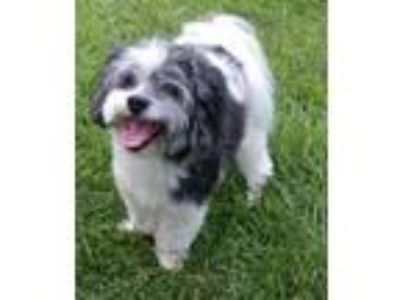 Adopt Theodore a Havanese, Poodle