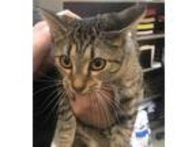 Adopt Matilda a Domestic Shorthair / Mixed cat in Birmingham, AL (25323892)