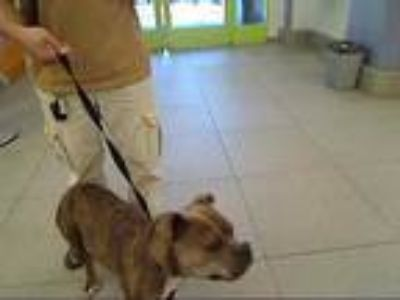 Adopt UNKNOWN a Brindle - with White American Staffordshire Terrier / Boxer /