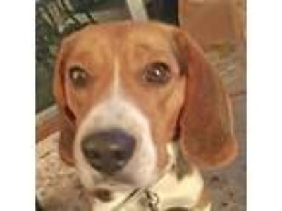 Adopt Fletcher a Beagle / Mixed dog in Newington, VA (25930136)
