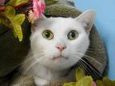 Adopt Princess a Domestic Shorthair / Mixed cat in Portland, OR (25316971)