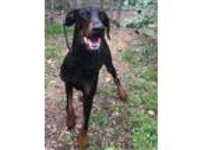Adopt Nicolas a Black Doberman Pinscher / Mixed dog in Grand Prairie