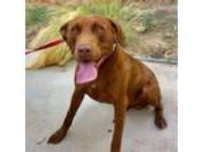 Adopt Redford a Chocolate Labrador Retriever