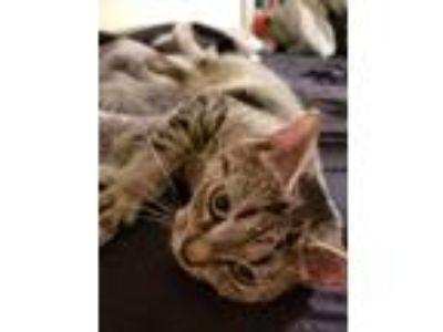 Adopt Sasha a Tiger Striped Domestic Mediumhair / Mixed cat in Bordentown