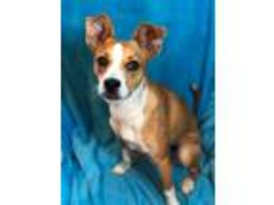 Adopt Firecracker a Tan/Yellow/Fawn - with White Basenji / Jack Russell Terrier