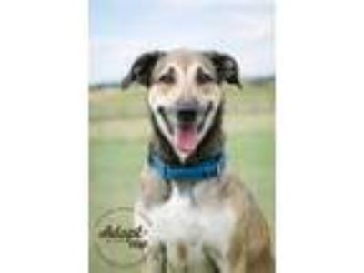 Adopt Trigger a Brown/Chocolate German Shepherd Dog / Greyhound / Mixed dog in