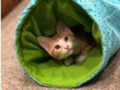Adopt Rainbow Dash a Orange or Red (Mostly) Domestic Shorthair / Mixed (short