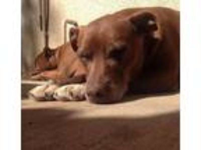 Adopt Ellen a Brown/Chocolate - with White American Pit Bull Terrier / Labrador