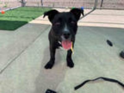 Adopt *ZINGA a Black - with White Terrier (Unknown Type, Medium) / Corgi / Mixed