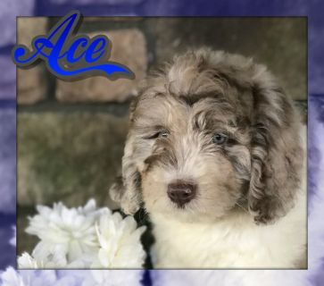 Ace Male Miniature Newfypoo