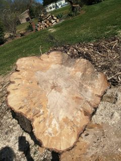 Maple Trunk Slabs