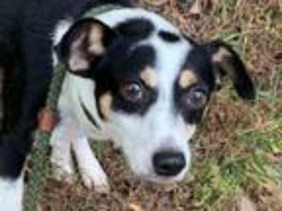 Adopt Ludlow / Vito a Jack Russell Terrier, Terrier