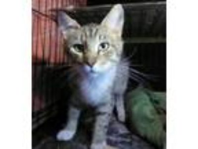 Adopt 42189515 a Domestic Short Hair