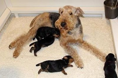 JOVAL Airedale Terrier Puppies Available