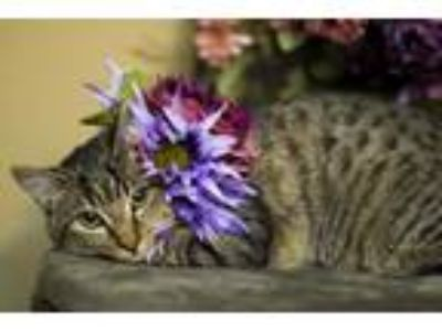 Adopt Tobias, the cuddler kitten! a Brown Tabby Maine Coon (short coat) cat in