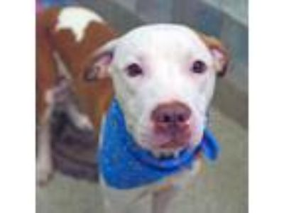 Adopt Camden a Pit Bull Terrier, Mixed Breed