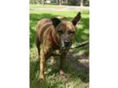 Adopt Rockyroo a Catahoula Leopard Dog, Dutch Shepherd