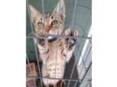 Adopt Caged Bird a Calico