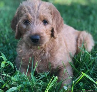 Gorgeous F1 Fox Red Labradoodle Puppies Raised with Puppy Culture!