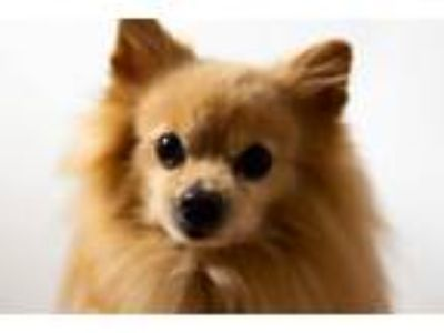 Adopt Flutie a Pomeranian / Mixed dog in Delaware, OH (24563206)