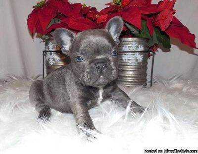FBY glowing French Bulldog Puppies