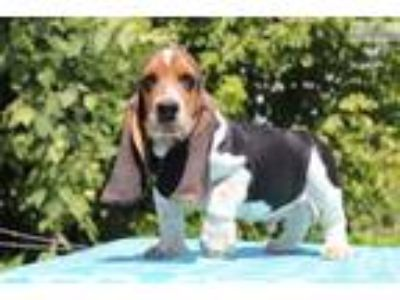 Dumbo Adorable Basset Boy Euro lines READY