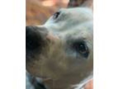 Adopt JoJo a White - with Black American Pit Bull Terrier / American