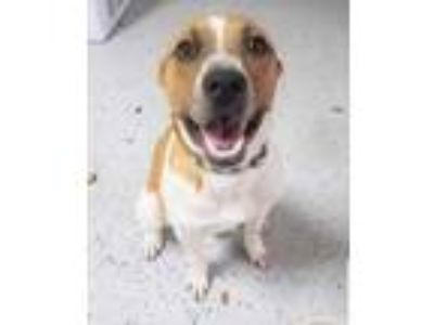 Adopt Marley CZ a Tan/Yellow/Fawn Jack Russell Terrier / Mixed dog in Von Ormy