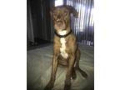 Adopt Chance a Brown/Chocolate Labrador Retriever / Goldendoodle dog in Hobe
