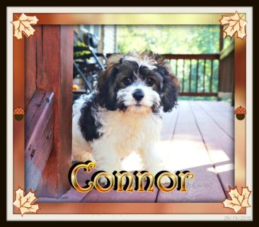 Connor Havalier Puppy for Sale! New Photos 9-19-18-
