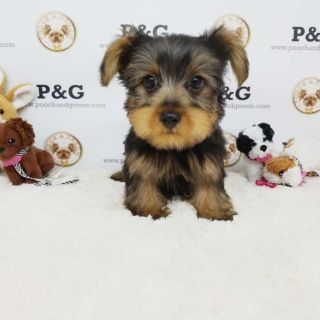 Yorkshire Terrier PUPPY FOR SALE ADN-95730 - YORKSHIRE TERRIER KOBE MALE