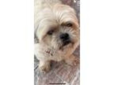 Adopt Alfie a Tan/Yellow/Fawn Lhasa Apso / Mixed dog in Pinecrest, FL (25890556)