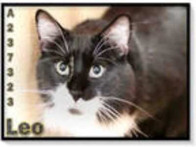 Adopt LEO a Black & White or Tuxedo Domestic Shorthair / Mixed (short coat) cat